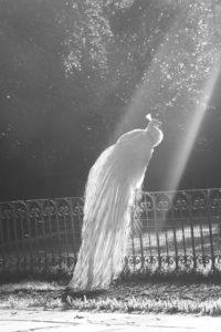d817677bd6521511a87508f386ec45f8--albino-peacock-peacock-bird